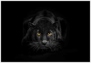 Пантера чёрная на чёрном