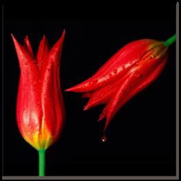 два тюльпана