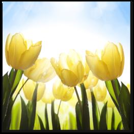 вид на жёлтые тюльпаны