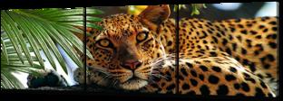 Леопард лежит