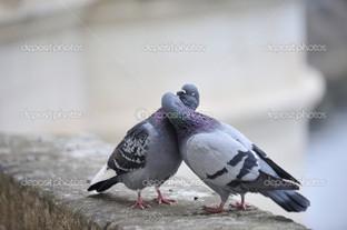 два серых голубя
