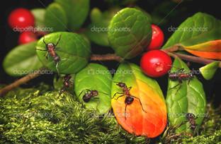 Муравьи и брусника