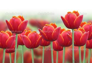 тюльпаны красные с жёлтым