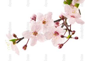 цветы вишневого дерева