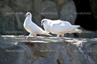 белые голуби на камнях