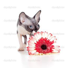 кошка с герберой
