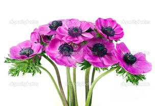 фиолетовые маки