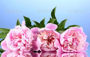 три розовых пиона