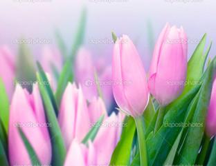 нежно розовые тюльпаны на сером