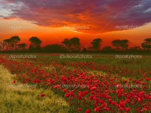 красный закат, маковое поле