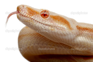 змея на белом фоне