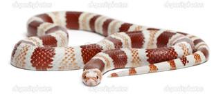 полосатая змея
