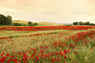 маки и пшеница поле