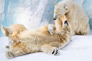 белые медведи играют