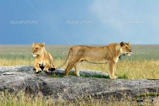 две львицы на природе