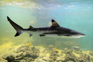 одна акула