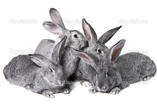 четыре серых кролика