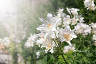 белая лилия в саду