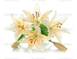 бледно жёлтая лилия