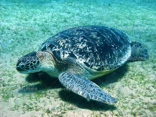 большая морская черепаха
