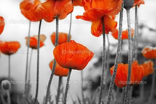 цветы маков на сером