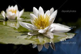 белый лотос на воде