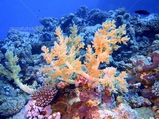 красивый коралл