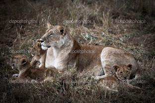 львица с детёнышами