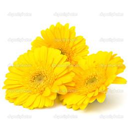 жёлтые герберы на белом