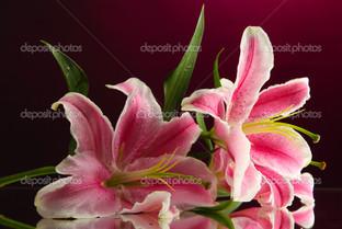 красивые лилии на розовом фоне