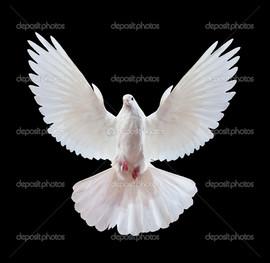 белый голубь крылья