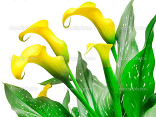 жёлтая калла, цветок