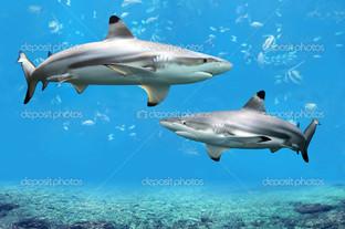 черноперая рифовая акула
