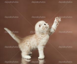 котёнок на коричневом фоне