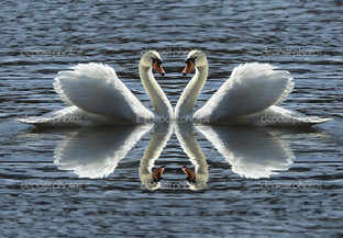 лебеди на серой воде