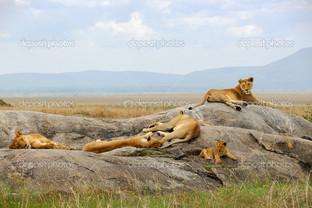 прайд львов