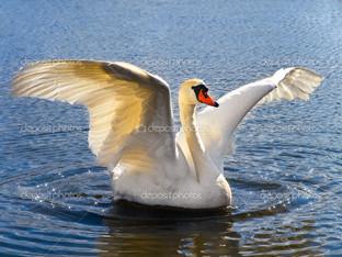 лебедь на воде крылья