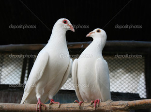 любовь двух голубей