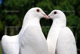 два белых голубя