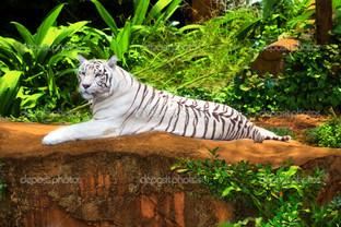 белый тигр на дикой природе