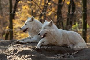 два волка в лесу