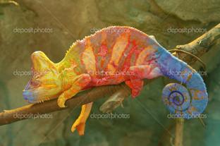 трехцветный хамелеон
