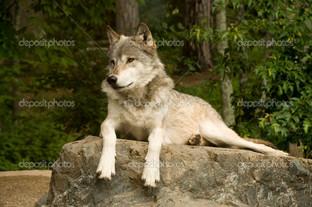 зоркий волк