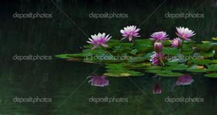 панорама лилий на воде