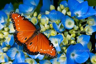 королева бабочка на гортензии