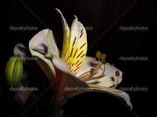 цветок и бутон на черном фоне