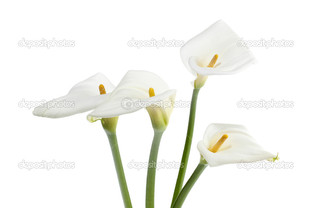 белая калла на белом