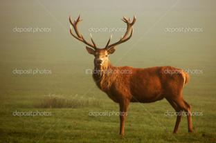 взрослый олень
