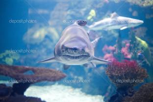 серая акула