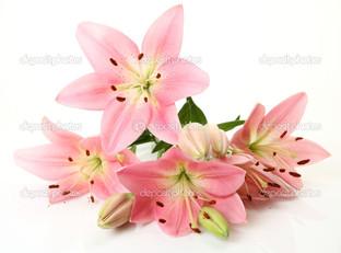 нежно розовая лилия